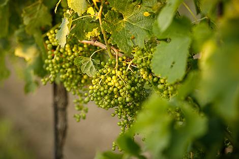 Isel Weingärten im Wachstum